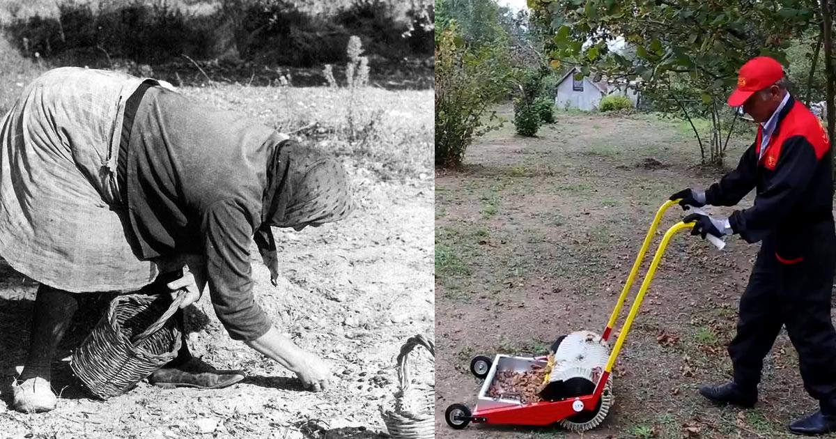 raccolta olive prima e dopo